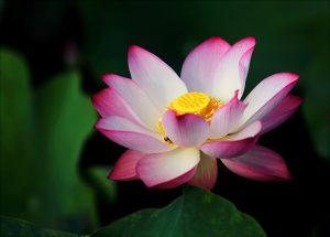 Ružový lotos, pôvodný obrázok